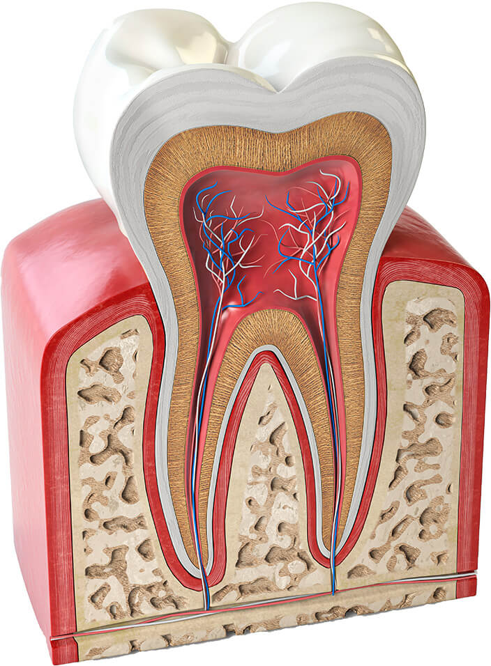 Cross section model of a tooth, showing inside the gums and roots of the teeth
